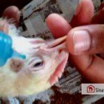 Vaksin dan Jadwal Vaksinasi Ayam Broiler