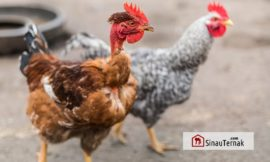 Ciri Positif dan Negatif Ayam Legund Ditinjau dari Genetik dan Performans