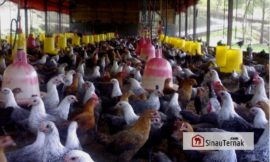Mengenal Ayam Kampung Super